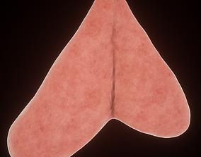 thymus 3D model