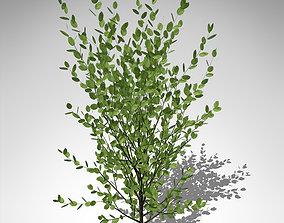 3D model XfrogPlants Grey Willow