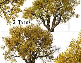 3D Set of Fremont cottonwood or Populus fremontii Tree - 2