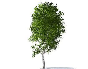 3D model Birch tree wood