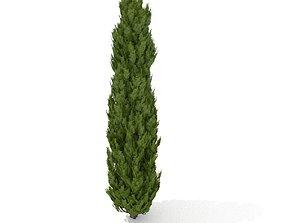 Cypress tree 3D asset
