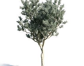 Conocarpus erectus 16 am154 3D