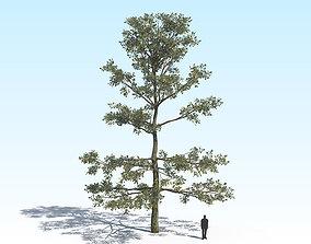 Oak Tree 05 PBR 3D model