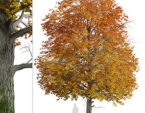 Norway Maple or Acer platanoides Tree - 1 Tree 3D