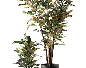 Croton Plants in Pots croton 3D model