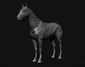 3D print model Horse-Equine Anatomy Ecorche