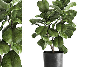 3D Ficus lyrata trees in a pot for the interior 878