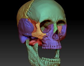 Human skull 3DP model cut in major bones biology