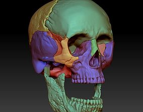 Human skull 3DP model cut in major bones biology