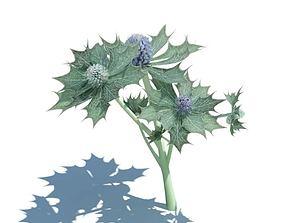 Plant Eryngium Maritimum 3D