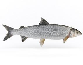 Whitefish 3D model