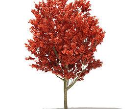 Red Oak Quercus rubra L 11m 3D model