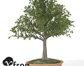 3D model XfrogPlants European Beech - Bonsai