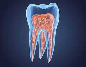 Transparent tooth 3d model of endodontics inner structure