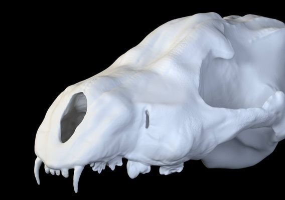 Skull of a wolf