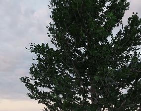 animated Maple Tree 3d Model