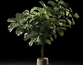 3D model Ficus in Woven Seagrass Basket 2 scan