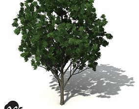 3D model XfrogPlants Southern Mahogany