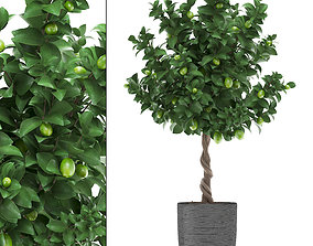 Lemon Tree with Fruit 2 3D