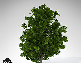 XfrogPlants Hornbeam 3D model