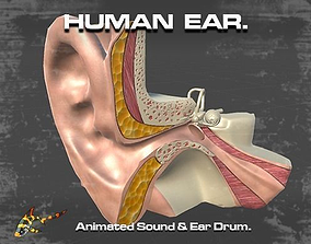 3D model animated Cross Section Human Ear
