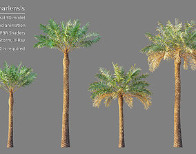 Animated Phoenix Canariensis or Canary Island date palm 3D