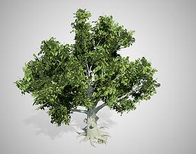 3D asset American Beech Tree