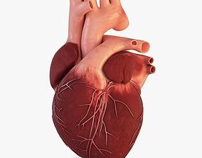 Human Heart 3D model circulatory