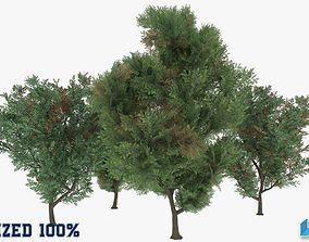 Melia Azedarach Trees Optimized 3D asset