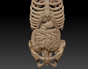 3D Anatomy skeleton pelvis spinal column ribs and internal