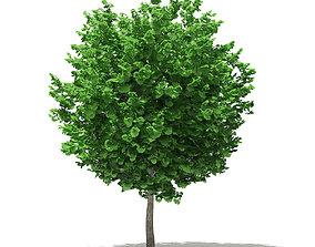 Ginkgo Tree Ginkgo biloba 4m 2 3D model