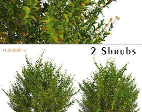 3D Set of Buddleja Globosa or Orange Ball Shrubs - 2