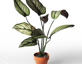 Calathea Ornata Sanderiana in Pot 2 3D
