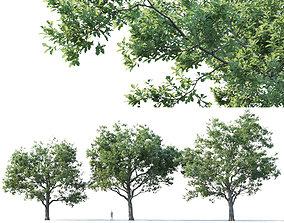 3D Common oak Nr7 H11-13m Three tree set alley