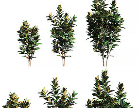 Ficus elastica tree 3D