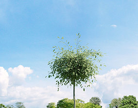 3D Salix repens var argentea 023 v1 AM136