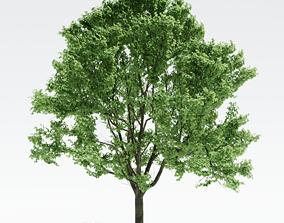 Alnus Tree 2 3D model