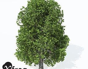 XfrogPlants Oriental Planetree 3D