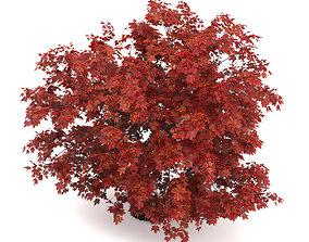 3D Japanese Maple Acer Palmatum
