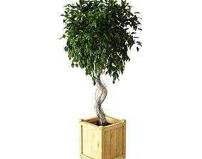 Ficus Benjamina 3D model