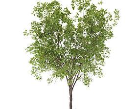 3D PBR Maple Tree