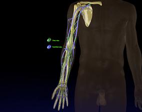 Venous drainage upper limb- vein 3D