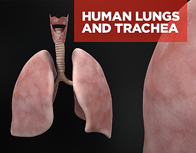 3D Human lungs and trachea