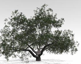 3D model Live Oak - Variation C