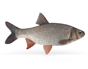 3D model Freshwater Fish