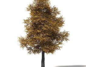 Field Maple 3D Model 12m