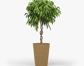Ficus Amstel King-Braid 3D