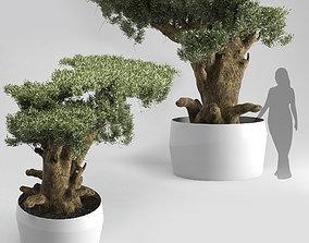 Olive Tree Plates Olea Europaea 3D model