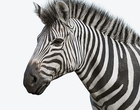 3D asset game-ready Zebra