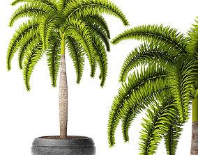 3D Palm wodyetia bifurcata